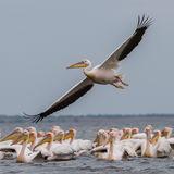 Great White Pelican (6)