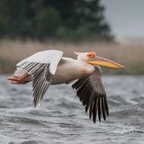 Great White Pelican (7)