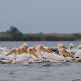 Great White Pelican (8)