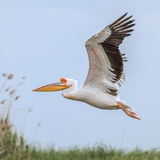 Great White Pelican (9)