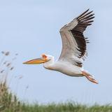 Great White Pelican (9)