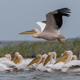 Great White Pelican (11)
