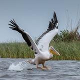 Great White Pelican (12)