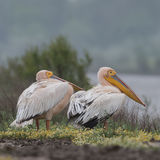 Great White Pelican (13)