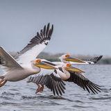 Great White Pelican (14)