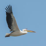 Great White Pelican (15)