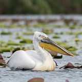 Dalmatian Pelican (1)