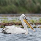 Dalmatian Pelican (2)