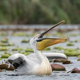 Dalmatian Pelican (5)