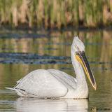 Dalmatian Pelican (8)