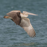 Pink-backed Pelican (4)
