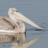 Pink-backed Pelican (6)