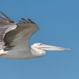 Pink-backed Pelican (7)
