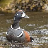 Harlequin Duck (1)