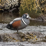 Harlequin Duck (6)