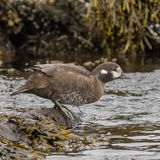 Harlequin Duck (7)