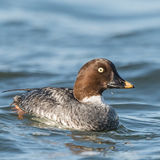 Common Goldeneye (1)