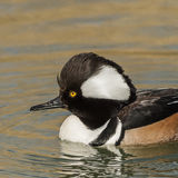 Hooded Merganser (2)