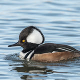 Hooded Merganser (3)