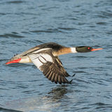 Red-breasted Merganser (3)