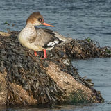 Red-breasted Merganser (4)