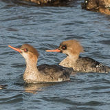Red-breasted Merganser (5)