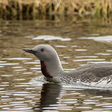 Red-throated Diver (2)