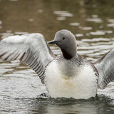 Red-throated Diver (3)