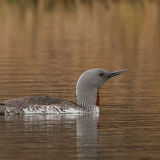Red-throated Diver (7)