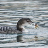 Great Northern Diver (4)