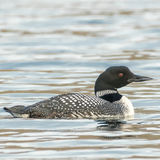 Great Northern Diver (10)