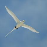 White-tailed Tropicbird (1)