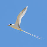 White-tailed Tropicbird (2)