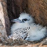 White-tailed Tropicbird (3)