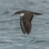 Galapagos Shearwater (2)
