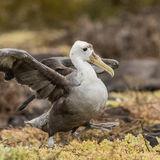 Waved Albatross (2)