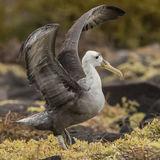 Waved Albatross (3)