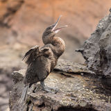 Flightless Cormorant (2)