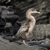 Flightless Cormorant (4)