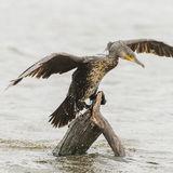 Great Cormorant (4)