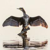 Great Cormorant (6)