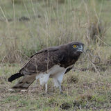Black-chested Snake-Eagle (1)