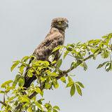 Brown Snake-Eagle (1)