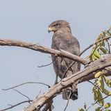 Western-banded Snake-Eagle