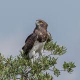 Black-chested Snake-Eagle (3)