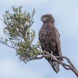 Brown Snake-Eagle (3)