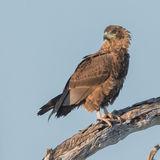 Brown Snake-Eagle (4)
