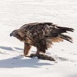 Golden Eagle (2)