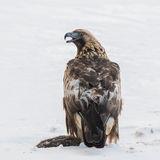 Golden Eagle (4)