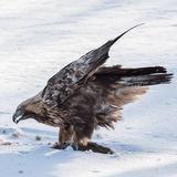 Golden Eagle (5)